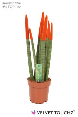 Sansevieria met gekleurde toppen 12cm Velvet Touchz Orange