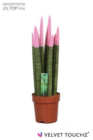 Sansevieria met gekleurde toppen 12cm Velvet Touchz Pastel Pink