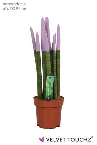 Sansevieria met gekleurde toppen 12cm Velvet Touchz Pastel Purple