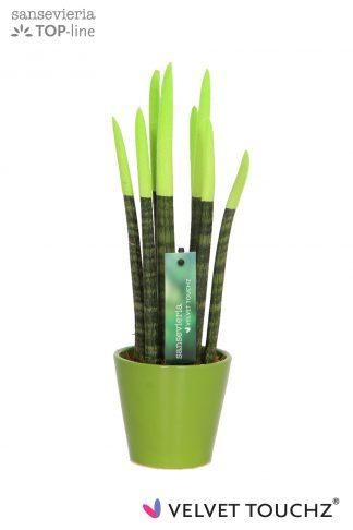 Sansevieria 8,5 cm Velvet Touchz Green in Keramiek