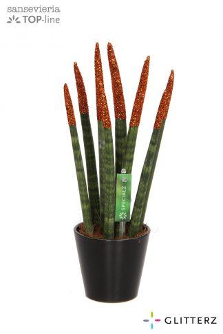 Sansevieria met glitter topjes 8,5cm Glitterz Copper in ceramic