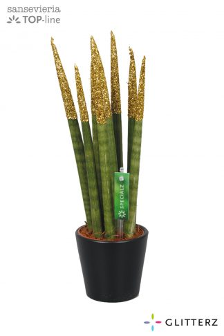 Sansevieria 8,5cm Glitterz Gold in ceramic