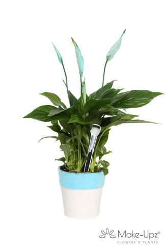 Spathiphyllum 13cm Make-upz® Aqua in Hugs pot
