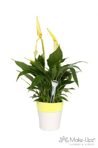 Spathiphyllum 13cm Make-upz® Yellow in Hugs pot