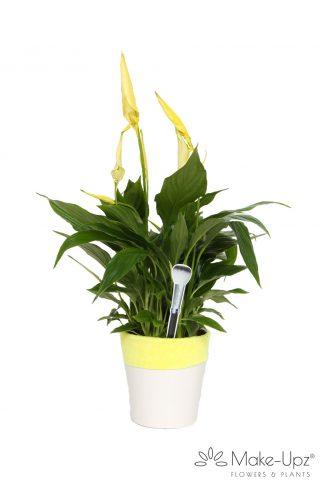 Spathiphyllum 13cm Make-upz® Yellow in Hugs pot