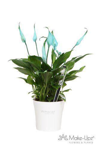 Spathiphyllum 10,5cm Make-upz® Aqua in MU Pot