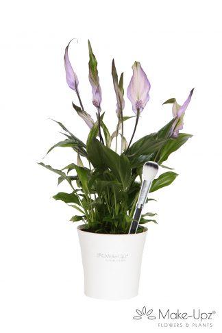 Spathiphyllum 10,5cm Make-upz® Purple in MU Pot