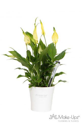 Spathiphyllum 10,5cm Make-upz® Yellow in MU Pot